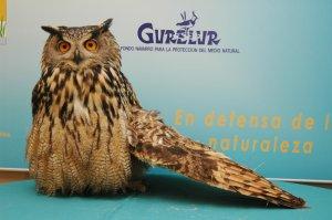 Eurasian Eagle-owl shot by hunter