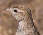 Short-toed lark (Calandrella brachydactyla)
