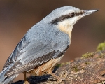 Wood nuthatch (Sitta europaea)