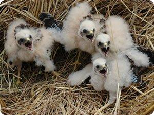 Montagu's harrier nest