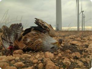 Red kite killed by wind turbine blade at Montes del Cierzo windfarm