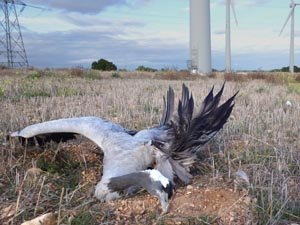 Grulla muerta por aerogeneradores