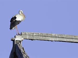 La cigüeña está resistiendo la destrucción de sus nidos