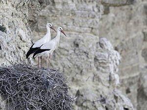 101 parejas de cigüeña blanca nidifican en cortados