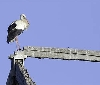 946 parejas de cigüeña blanca inician la reproducción en 2018 en Navarra