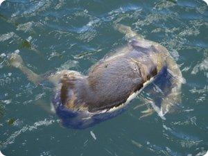Corzo ahogado en el canal de Navarra en Ezperun