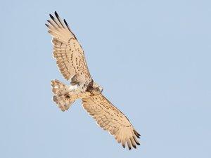 Aguila culebrera cruzando el Pirineo