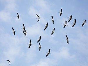 Bando de cigüeña blanca migrando