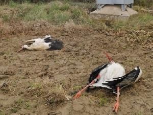 Cigüeñas muertas en tendido eléctrico de Fustiñana