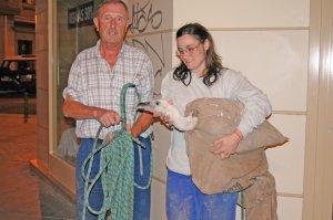 Dos ecologistas de oro rescatando un buitre en Carlos III