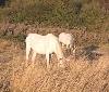 Gurelur denuncia el maltrato animal que están sufriendo unos caballos en una parcela de La Morea