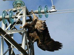 Aguila real muerta estos días en tendido eléctrico