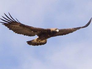 Aguila real en vuelo de caza