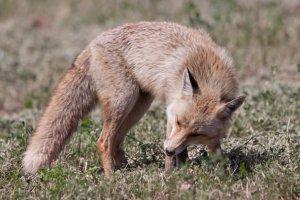 Los zorros son necesarios para el equilibrio ecológico