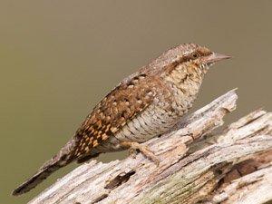 Los pájaros carpinteros se van a quedar sin árboles