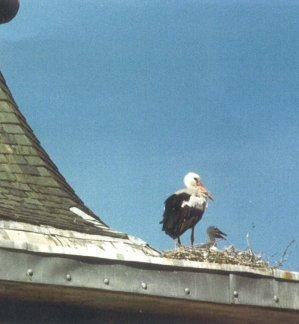 Primer pollo nacido en Pamplona. Año 1998