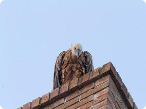 Buitre en el tejado de una edificio de la Rotxa