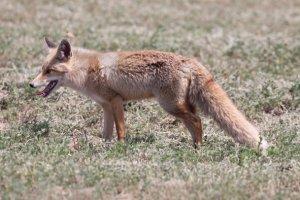 Los zorros son imprescindibles para el equilibrio ecológico