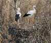 La población navarra de cigüeña blanca sigue retrocediendo en Navarra
