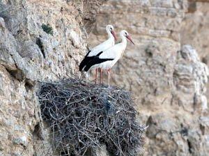 108 parejas nidifican en cortados