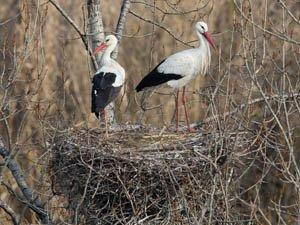 435 parejas ya nidifican en árbol