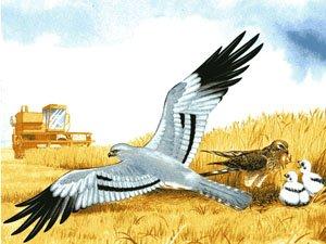 No van a parar hasta erradicar al aguilucho de nuestros campos