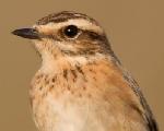 Tarabilla norteña (Saxicola rubetra)