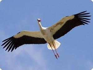 Cigüeña blanca en vuelo