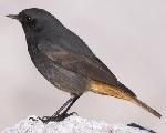 Buztangorria (Phoenicurus ochruros)