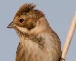 Zingira-berdantza (Emberiza schoeniclus)