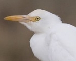Lertxuntxo itzain (Bubulcus ibis)