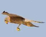 Naumannen belatza (Falco naumanni)